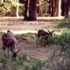 Mule deer in Yosemite