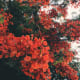how-does-the-royal-poinciana-flowering-tree-represent-cultural-significance