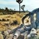 Adele the Desert Tortoise Burrows Beneath a Fallen Joshua Tree