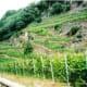 Bettini winery vineyards
