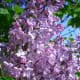 Lilac (from english-country-garden.com)