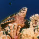 Hawksbill turtle in the coral reef