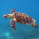 The carapace of the hawksbill turtle can be seen clearly in this picture