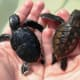 Green and Hawksbill turtle hatchlings