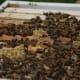 Honey Bees Building Comb