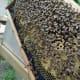 Frame Full of Honey Bees