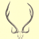 The skull and antlers of a chital, or axis deer, native to South Asia.