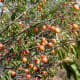 Growing conditions and type may produce golden fruits...