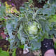 Here you see my best cabbage absolutely ravaged by slugs