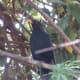 Mr Blackbird