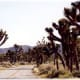 The road through a grove of Joshua Trees in the Joshua Tree National Park