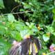 It was an amazing experience observing the butterfly enjoying the nectars of the lantana camara flowers in the Habitat.