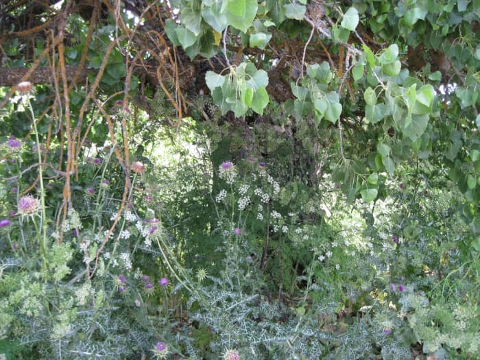 Milk Thistle and Hemlock: The Prickly and the Poisonous ...