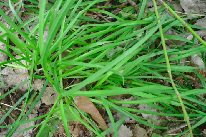 Wild onion has a flat flat leaf, while wild garlic has a tubular blade. Entrambi sono commestibili.