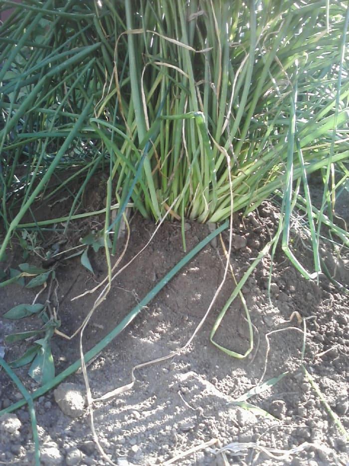 L'aglio selvatico cresce nel mio giardino.