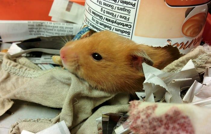 causes-de-la-mort-soudaine-chez-les-hamsters.hamsters