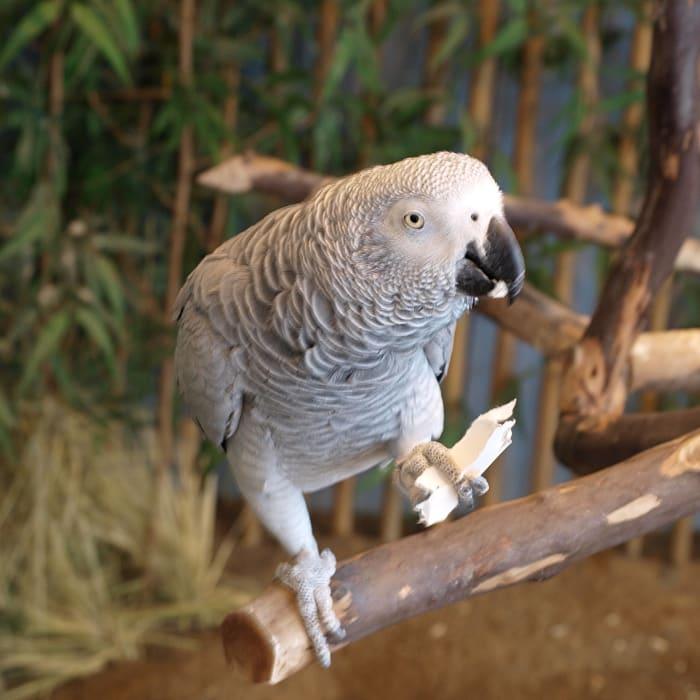 Pappagallo africano grigio