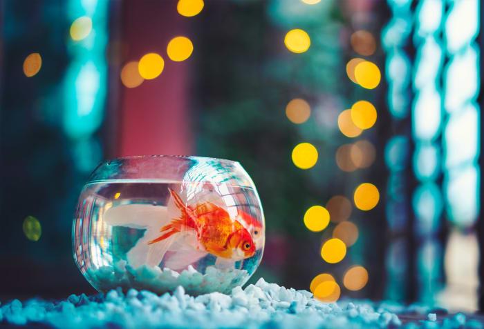 Should you avoid goldfish?