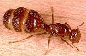 how to get rid of red headed ants