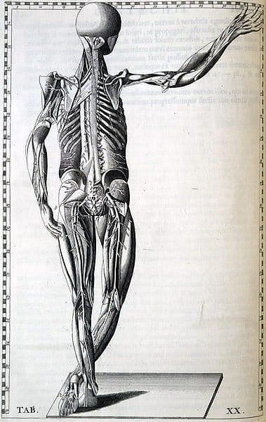 Los edulcorantes artificiales pueden afectar el cuerpo de formas no deseadas.[Human body by Bartolomeo Eustachi (1520?-1574)]