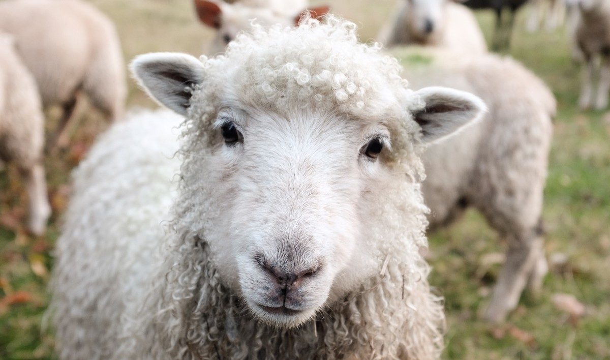 The school director will not cancel the class involving the slaughter of a sheep (Photo: Sam Carter)