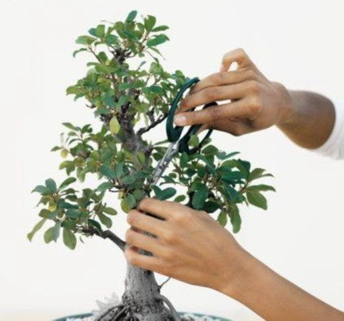 How to Prune and Dwarf Bonsai Trees