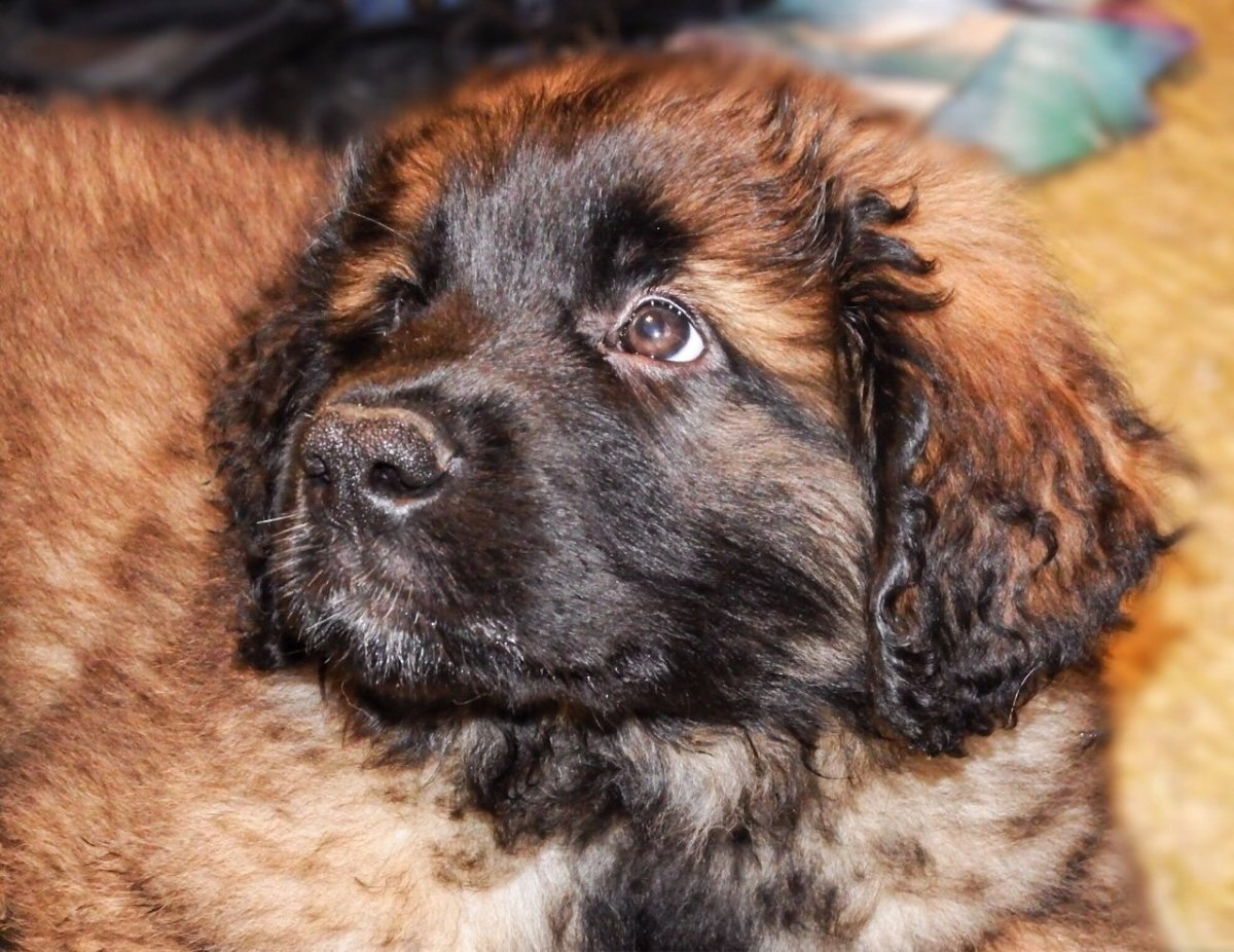Dylan the Leonberger as a puppy