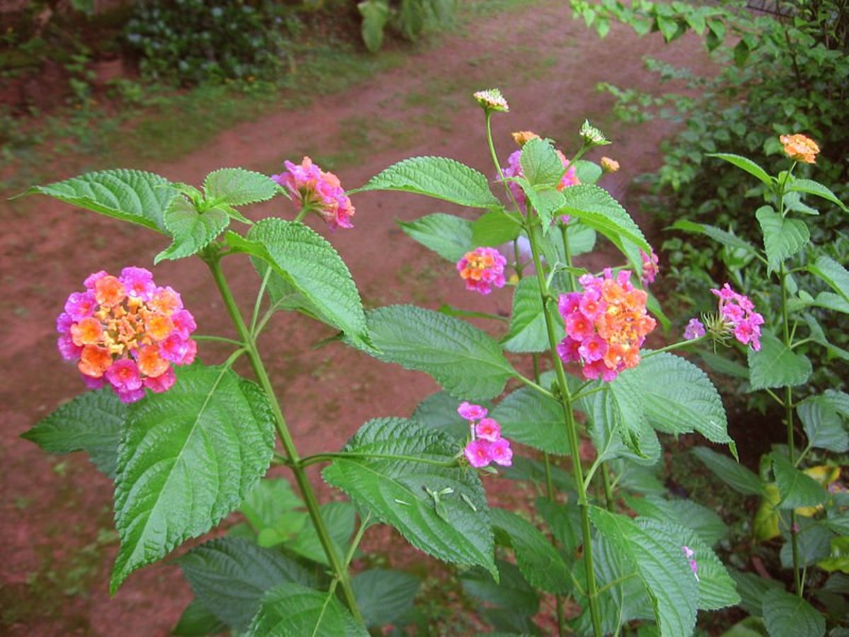 Beautiful lantana flowers.  Photo in public domain.