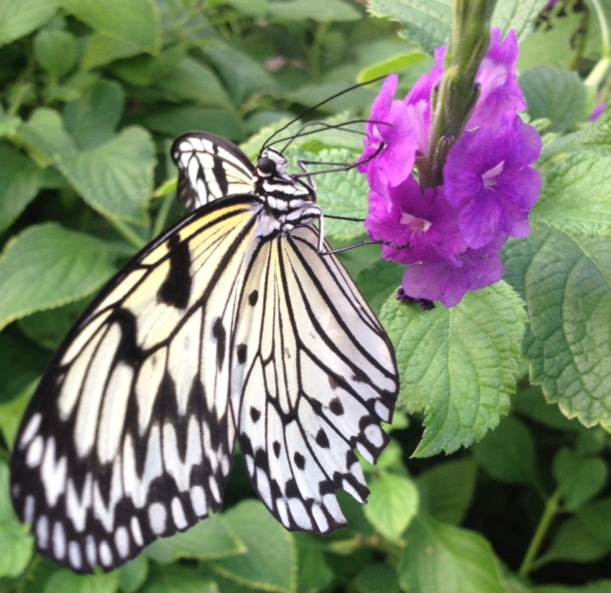 Paper Kite Butterfly Sipping Nectar from Purple flowers