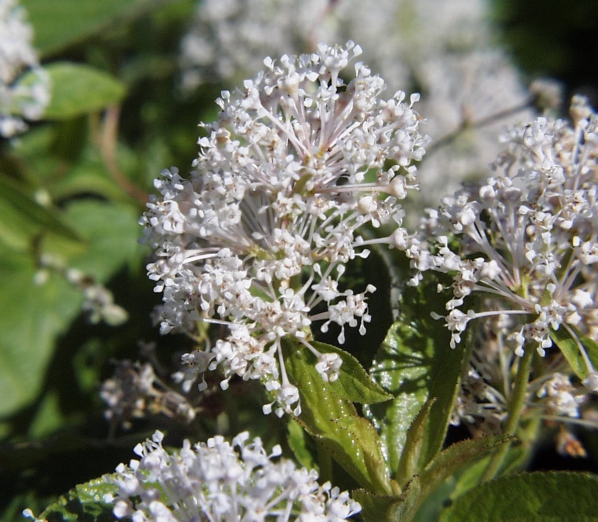 How to Grow Ceanothus (California Lilac) | Dengarden