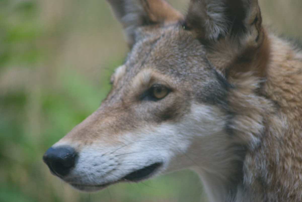 Top 3 Places to See Red Wolves in North Carolina