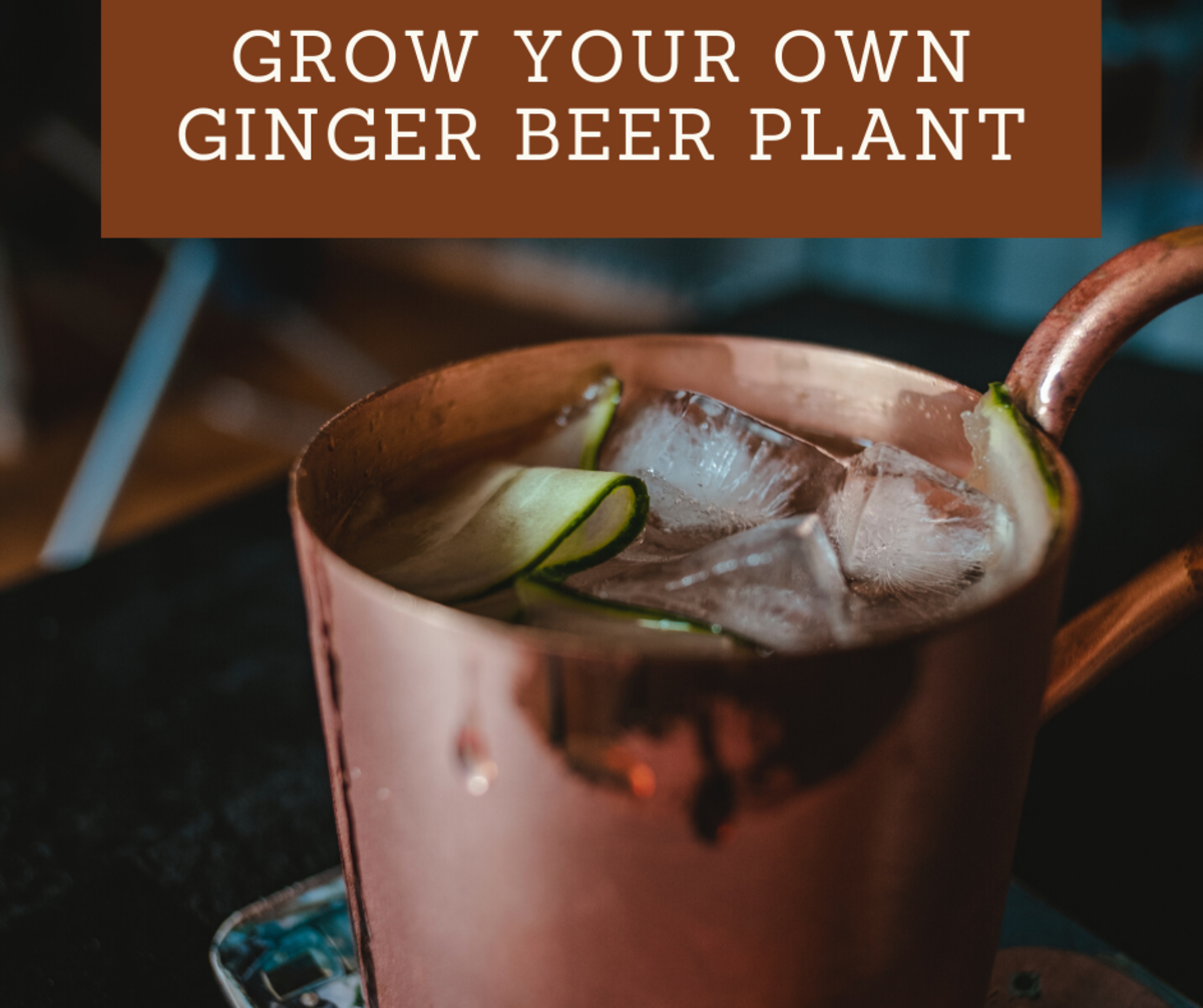 Growing your own ginger beer plant is easier than you'd think!