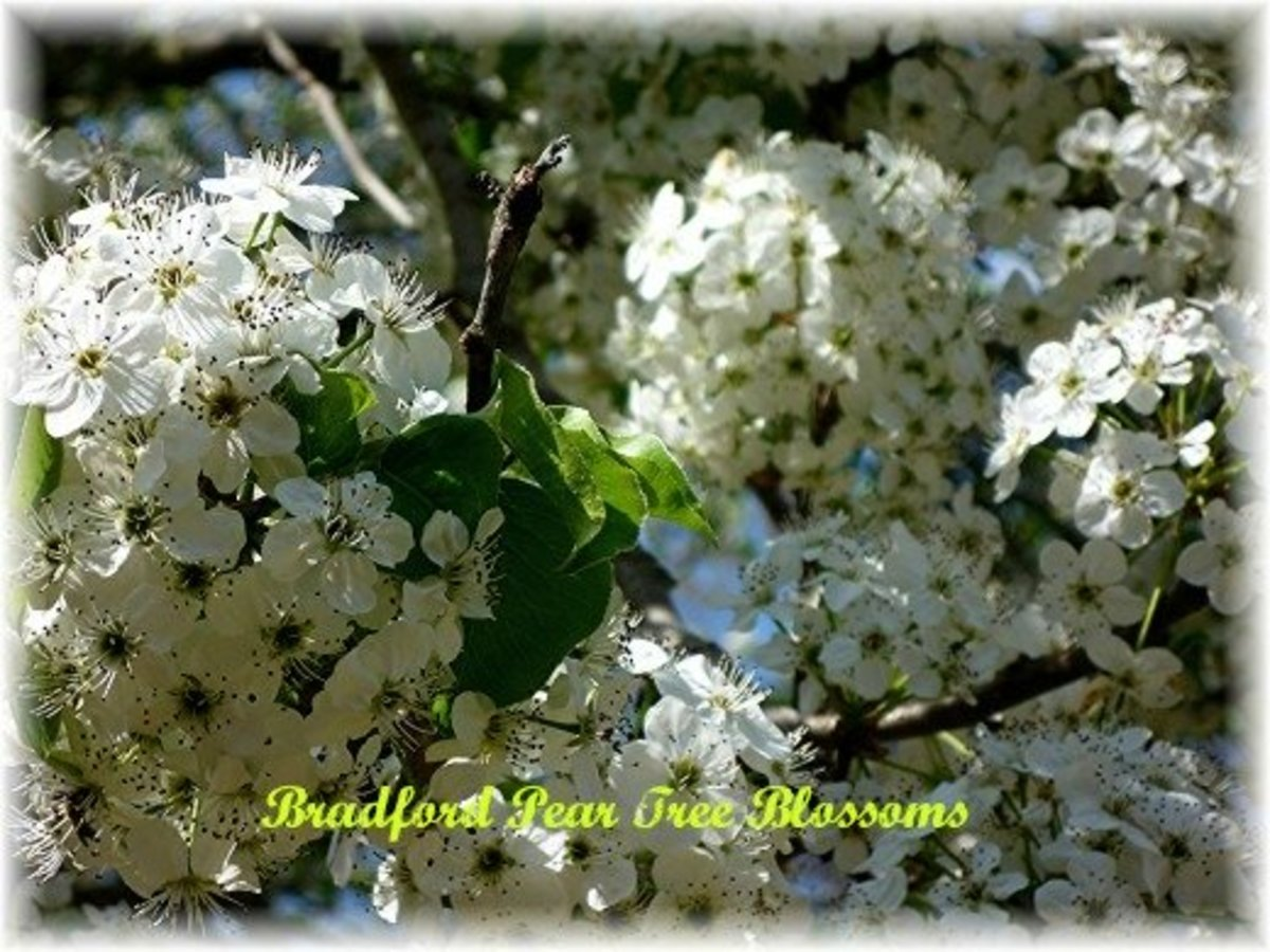 Pictures of Bradford Pear ~ Fast Growing Decorative Trees ~ Landscape Design Facts