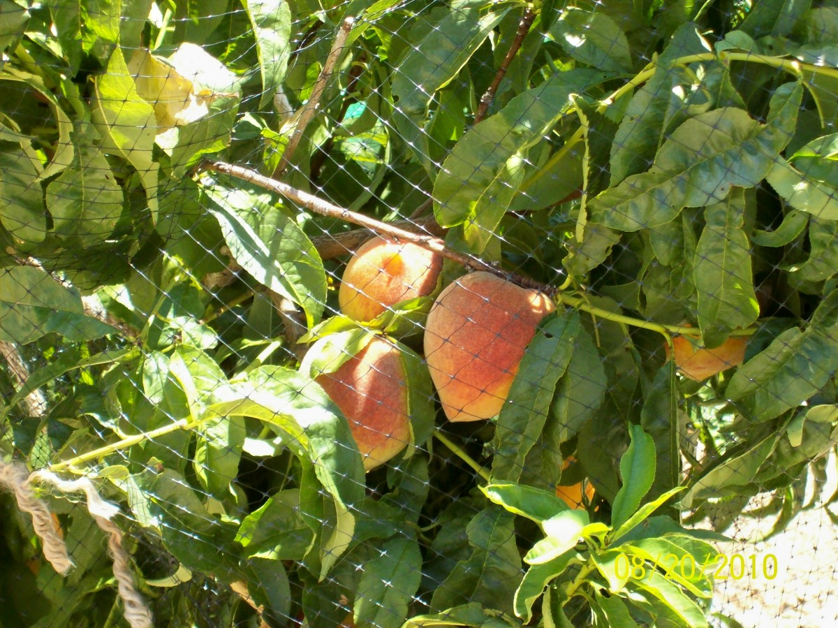 Arizona Gardener Steps to Planting and Growing Peach Fruit Trees: My PEACHES