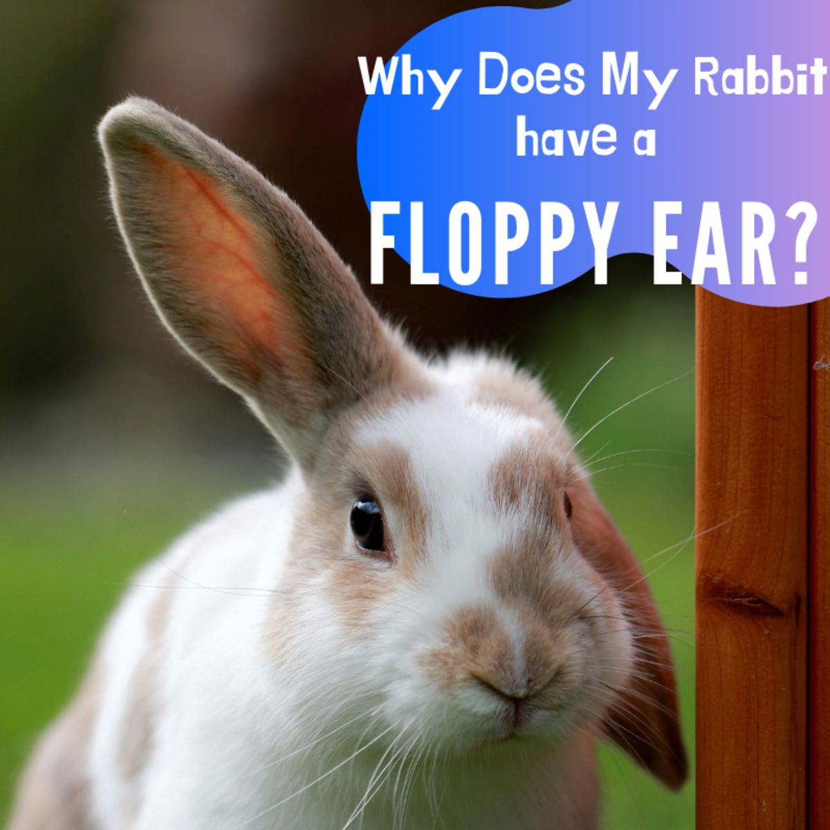 Why do some rabbits' ears remain upright throughout their lives while others' suddenly flop?