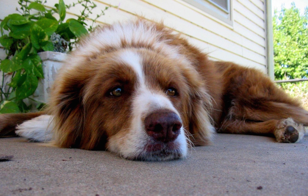 Zylkene - A Remedy for Stress Relief for Dogs and Cats
