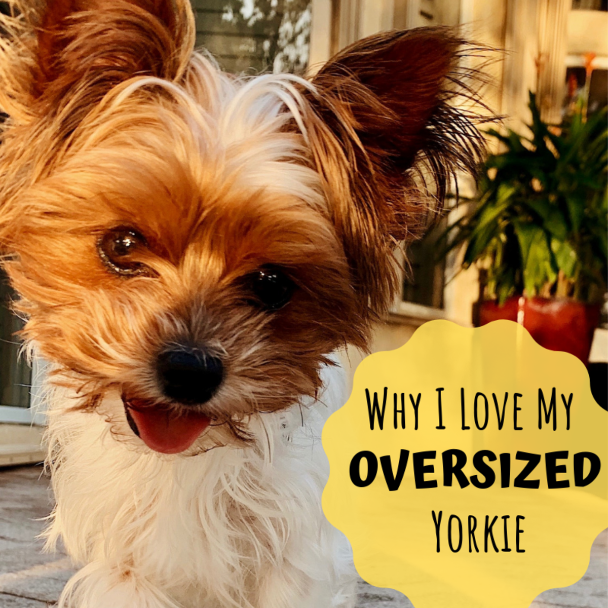 Why My Giant Yorkie Is Better Than Your Teacup Yorkie
