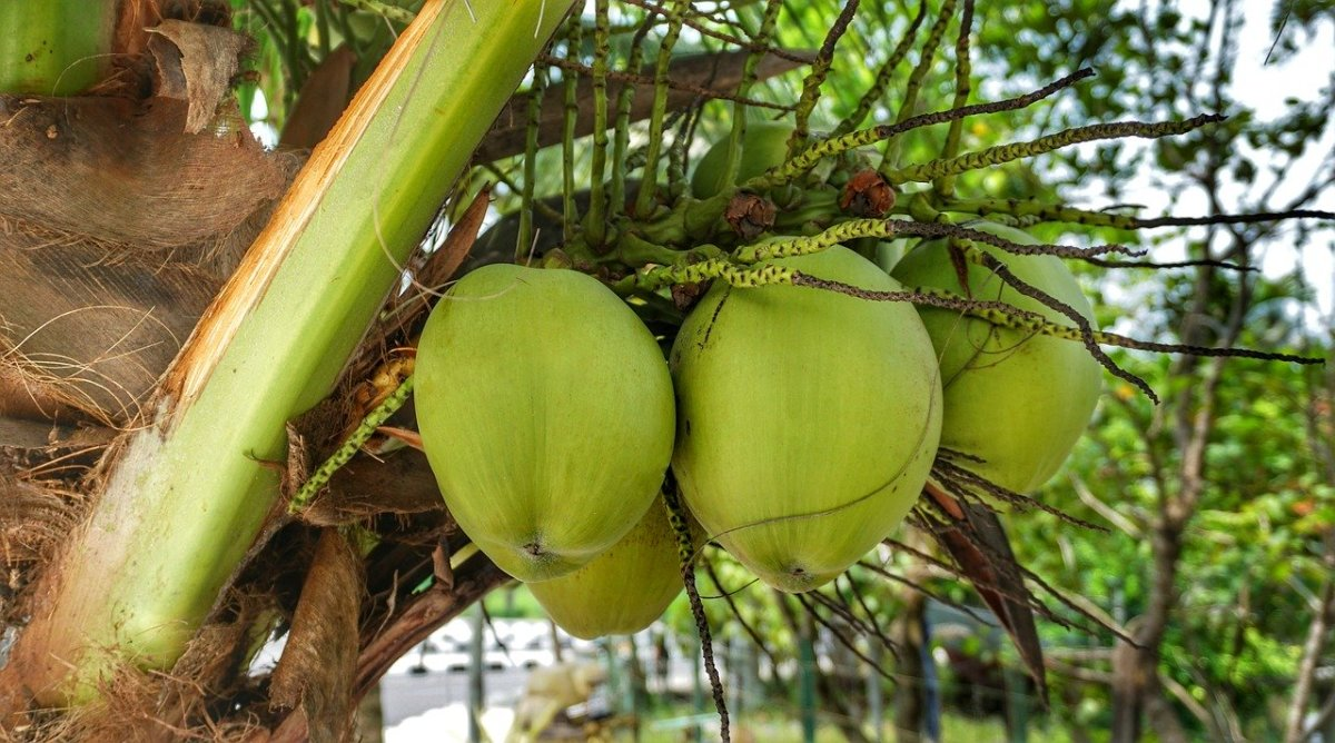 Tuba is wine made from the sap of the coconut tree.