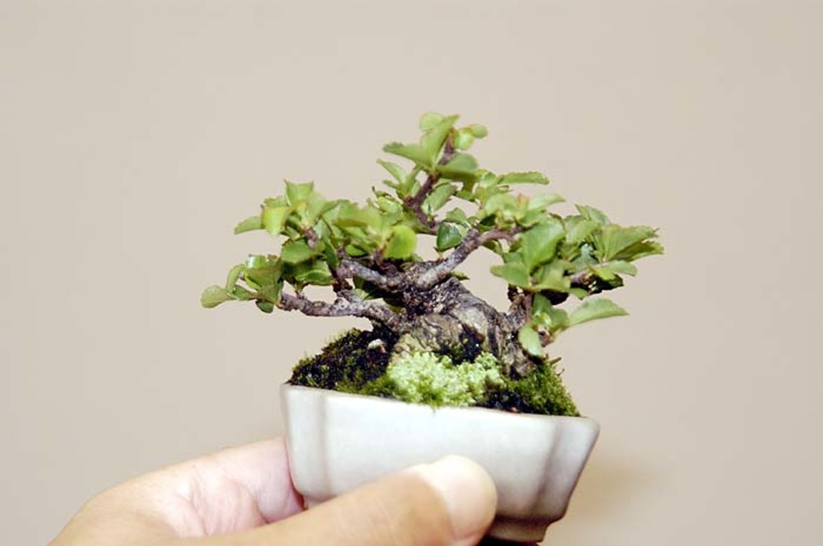 A Beginner's Guide to Growing Mame Bonsai