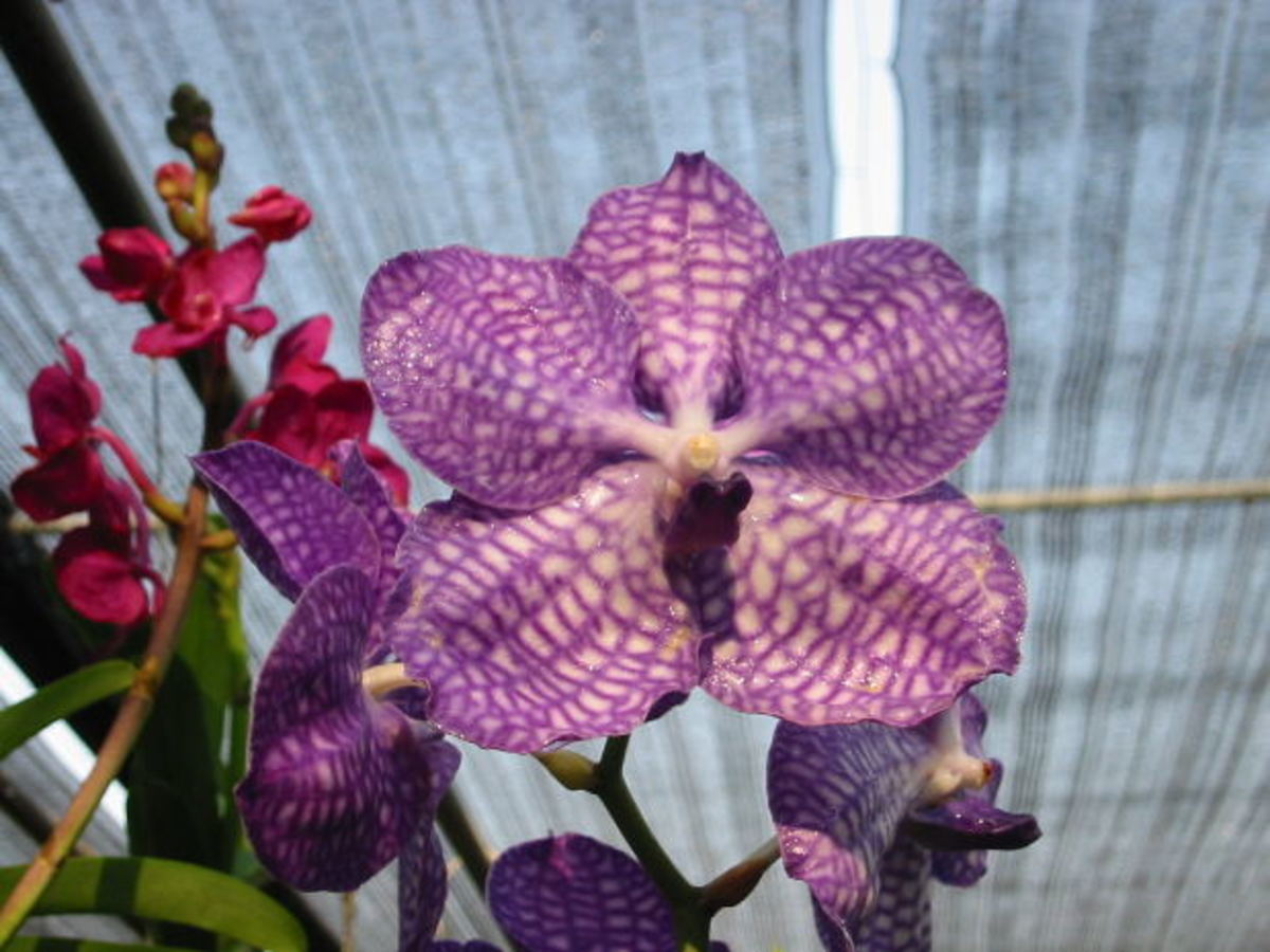 Orchids come in many beautiful colors.
