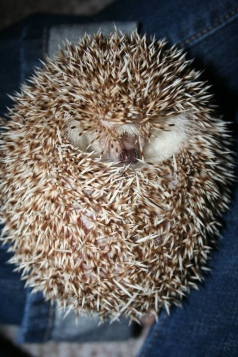 My hedgehog, Abby, curled up.