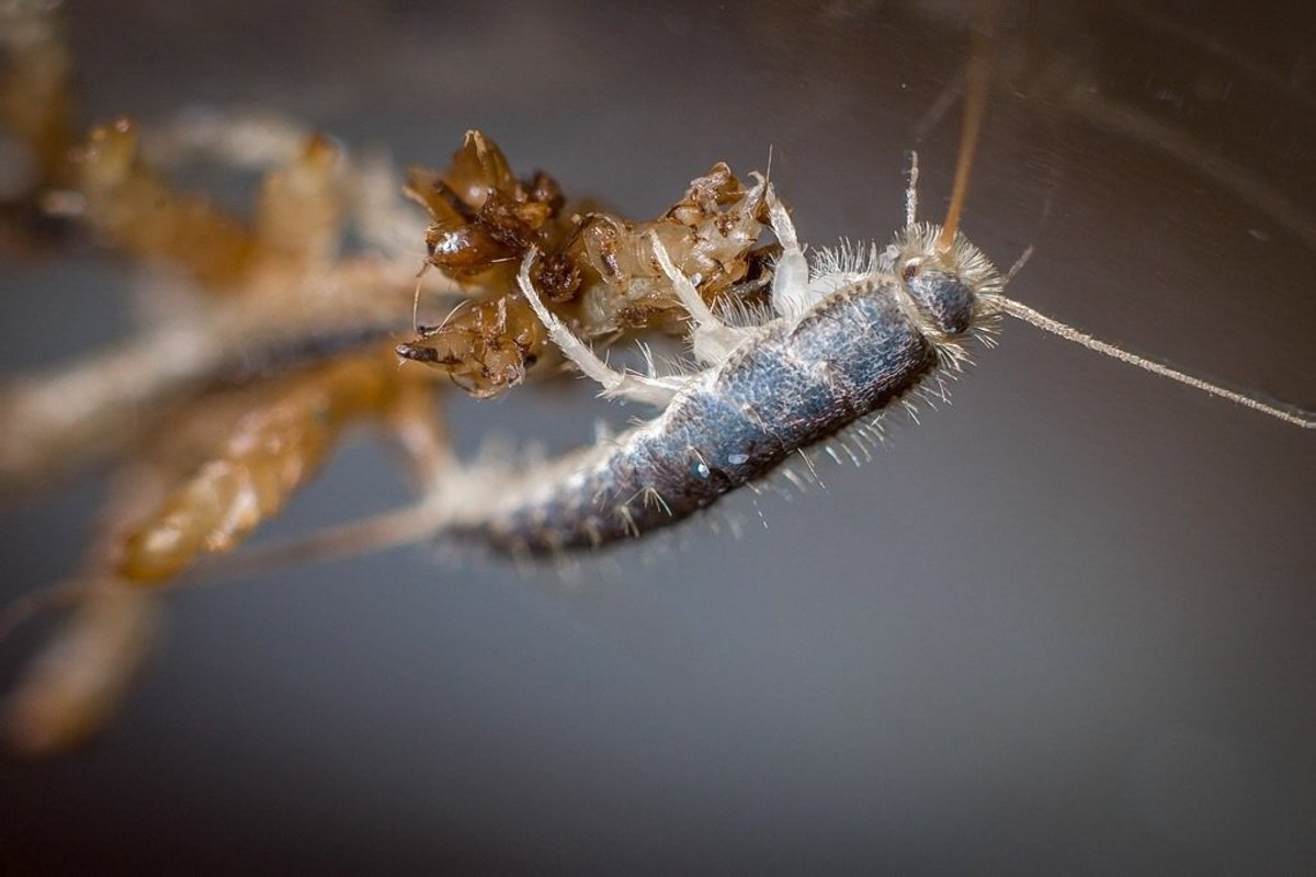 Silverfish - The Insects, Their Effects and Pest Control
