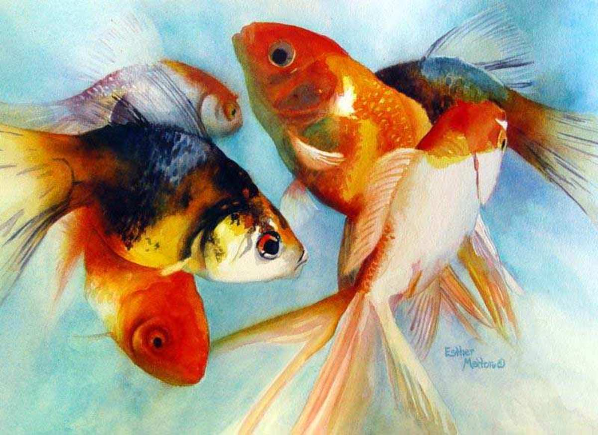 Goldfish Varieties: A Brief Look at Some of the Many Types