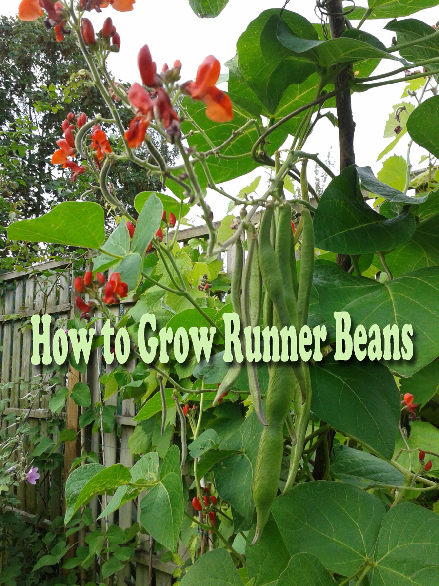 Runner beans are some of the easiest vegetables to grow, and this article will show you how.