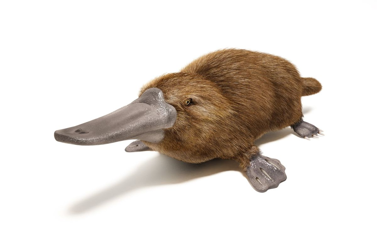 Why the Platypus Can't Make Up Its Mind
