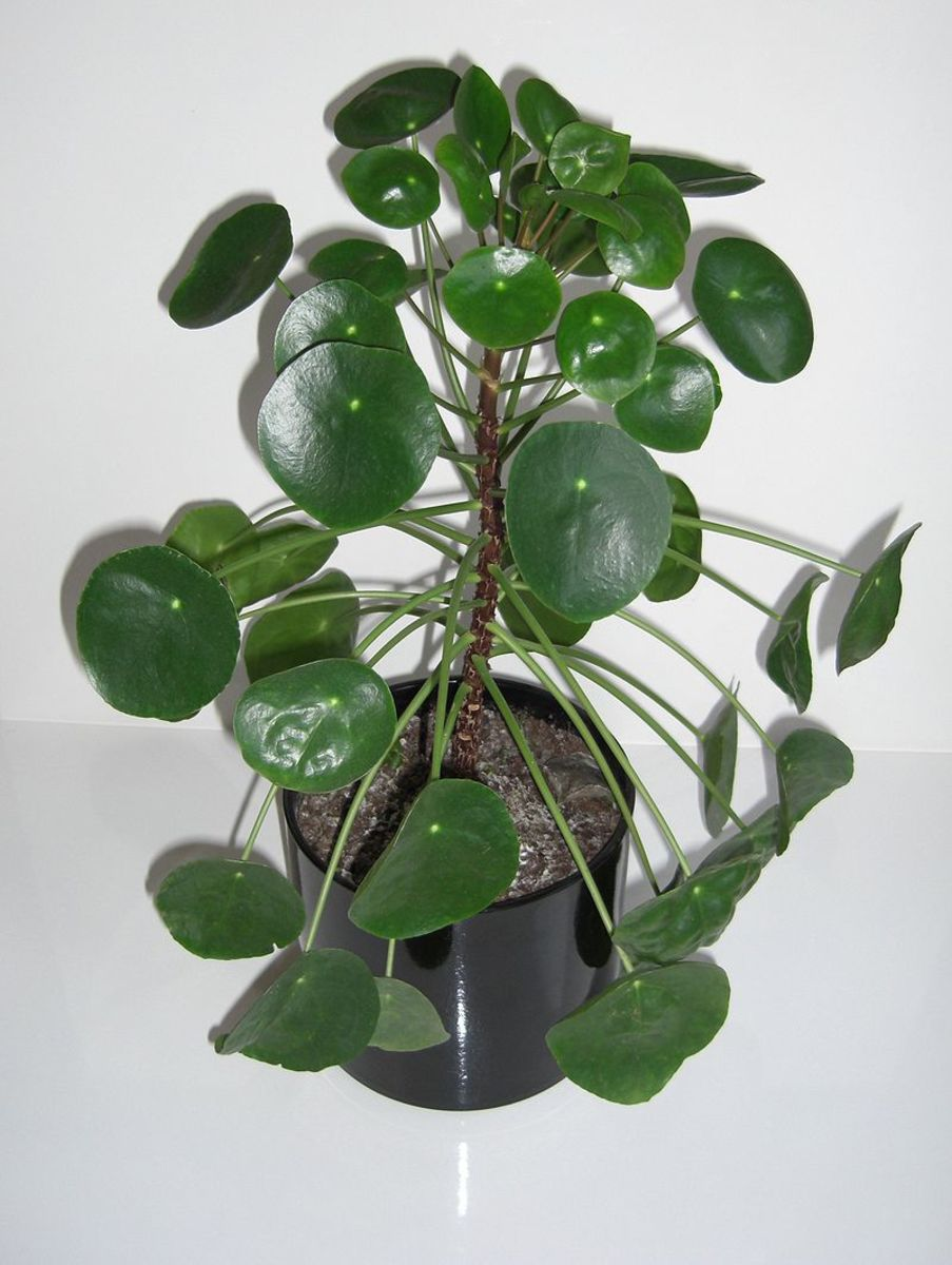 How to Grow Chinese Money Plant