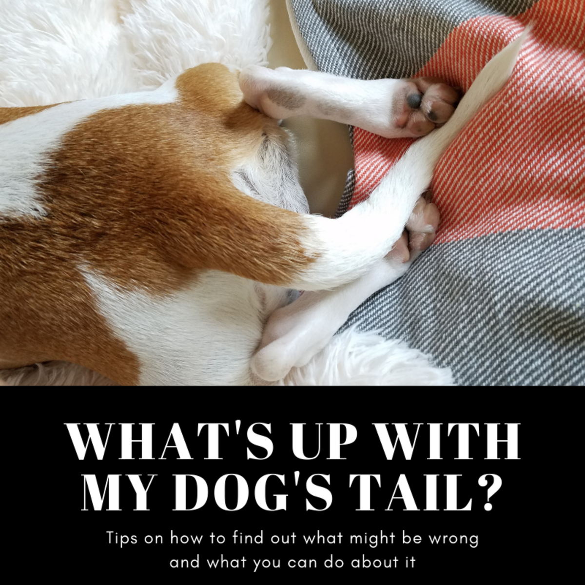 This article will help you find out what might be wrong with your beloved dog's tail and hopefully provide some guidance on what you might be able to do about it.