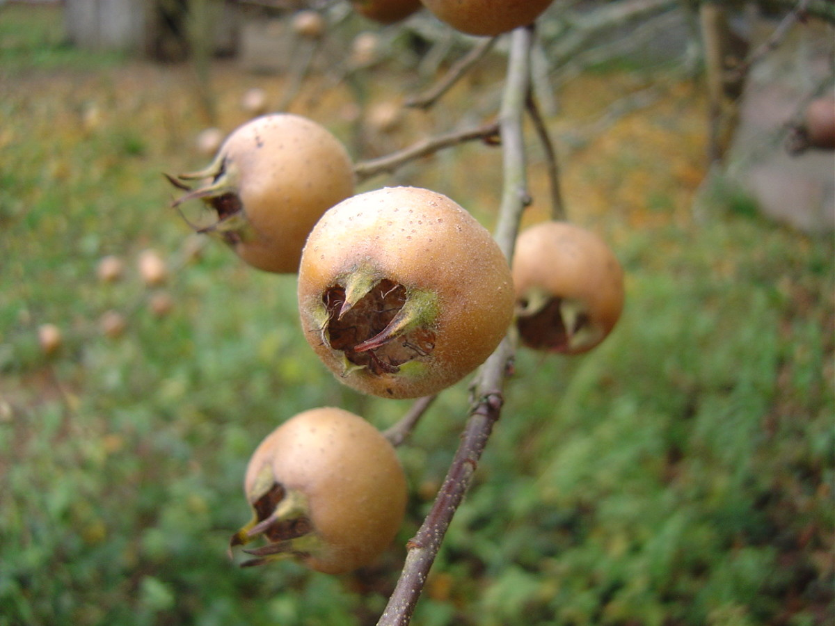 How to Grow Medlars