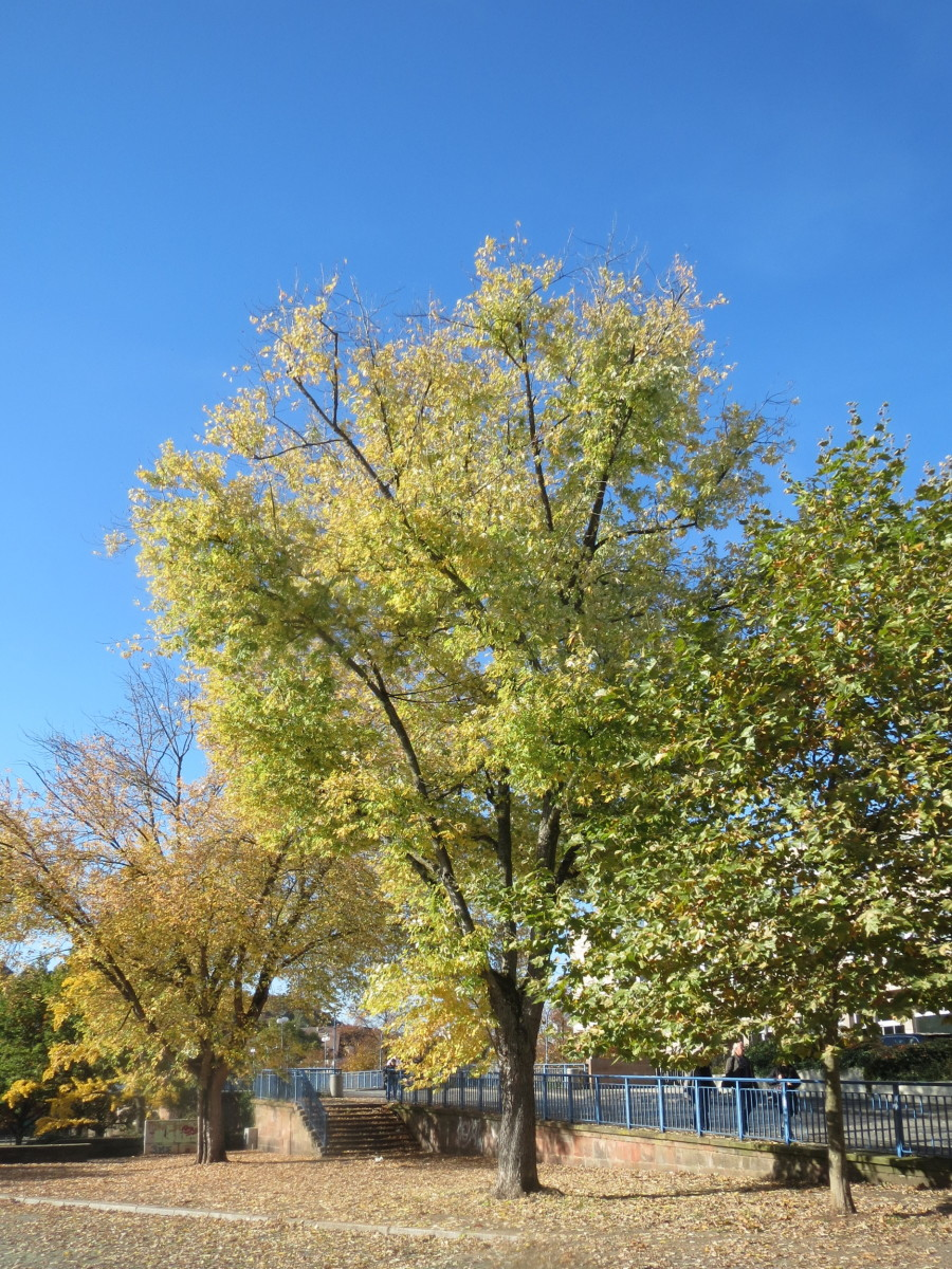 Silver Maples: Nuisance Tree or Landscaper's Dream?