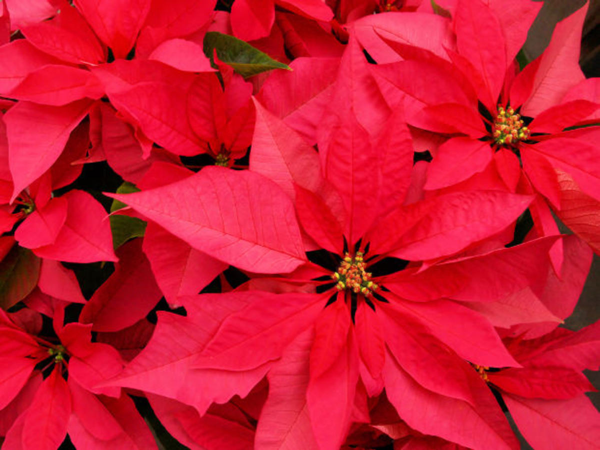Choosing And Caring For A Poinsettia Plant Dengarden Home And Garden